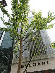 銀座のカツラ並木
